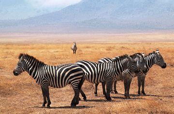 Zebra's in Serengeti NP Tanzania  von Tineke Mols