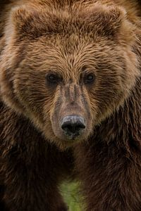 Grizzly beer met een doordringende blik van