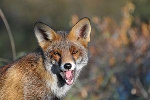 De geeuwende vos