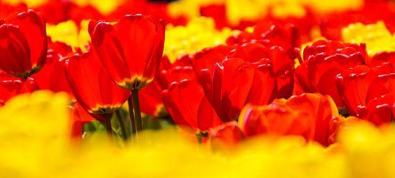 Panorama van rode en gele tulpen