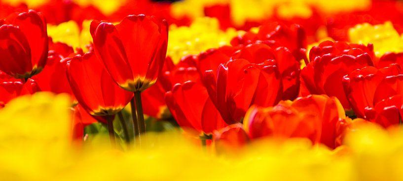Panorama van rode en gele tulpen van Sandra van Kampen