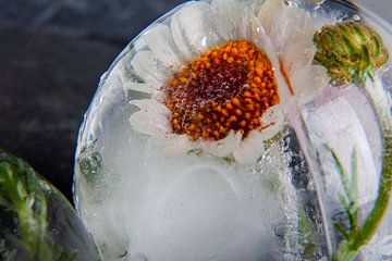 Rhodanthemum in kristalhelder ijs 2 van Marc Heiligenstein