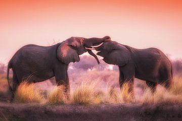 Stoeiende olifanten in de avondzon van De Afrika Specialist