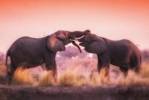Stoeiende olifanten in de avondzon