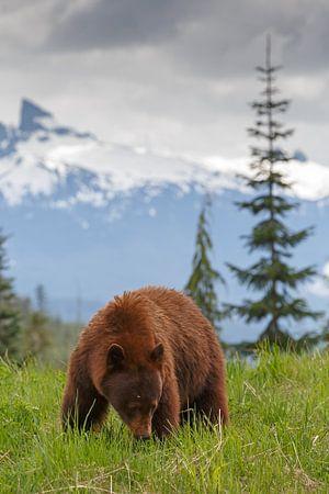 Cinnamon colored black bear