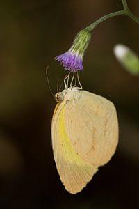 Vlinder (Eurema brigitta) op een bloem