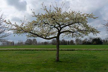 Prunus vol in bloesem van Lieke van Grinsven van Aarle