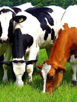 Grazende koeien. van Joke Schippers