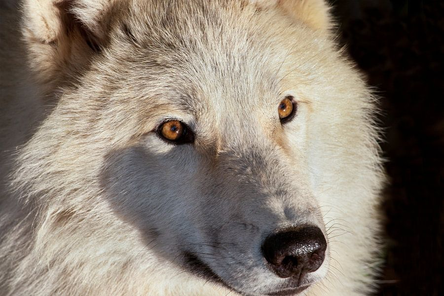Close-up poolwolf