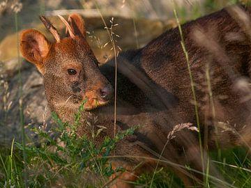 Pudel : Tierpark Blijdorp von Loek Lobel