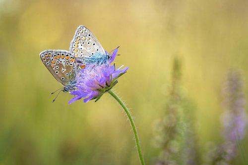 Vlinderliefde van