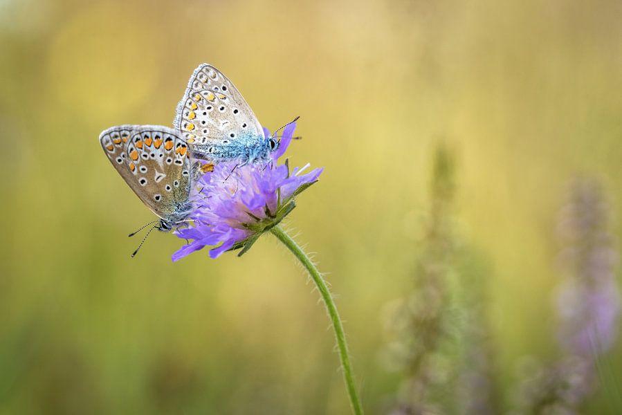 Vlinderliefde
