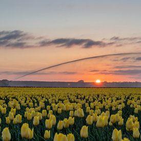 Tulpen van Johan Mooibroek
