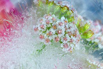 Eisblumen 2 von Johan Pape