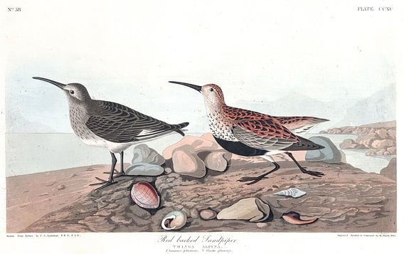 Bonte Strandloper van Birds of America