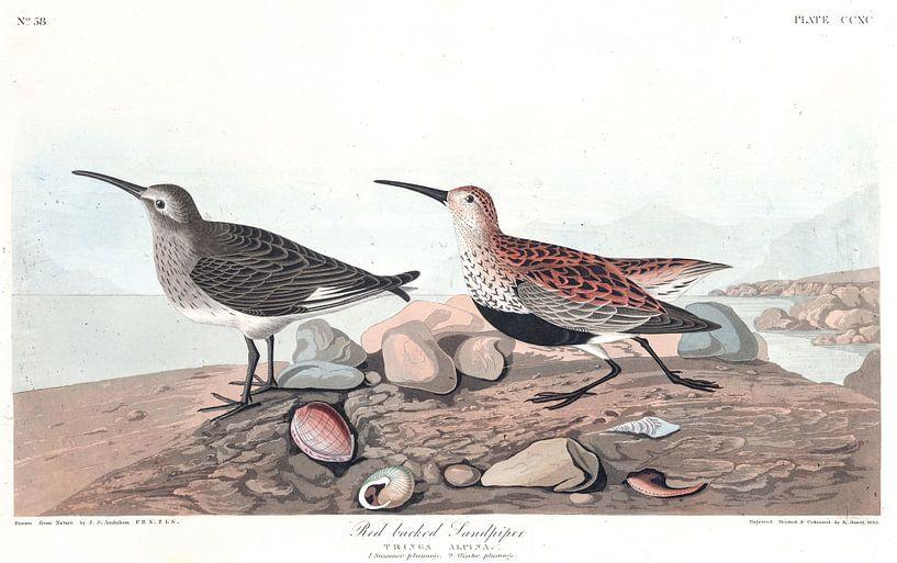 Alpenstrandläufer von Birds of America