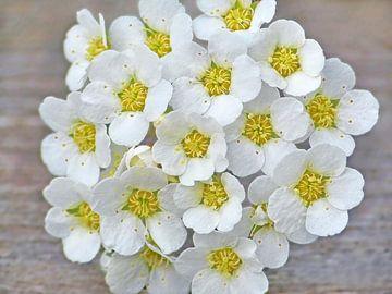 Weiße Blumen von Caroline Lichthart