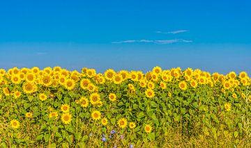 Sonnenblume von Ans Bastiaanssen