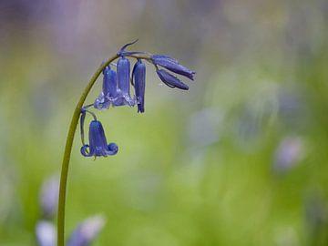 Hyacinthoides non-scripta van Ineke Nientied