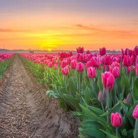 Tulpenveld Egmond van Stuart Dayus