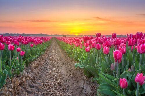 Tulpenveld Egmond van