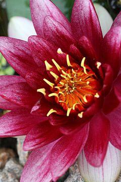 Roze waterlelie of Nymphaea van Cora Unk