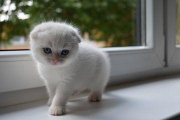 scottich fold creme point kitten von nathalie verhoeven