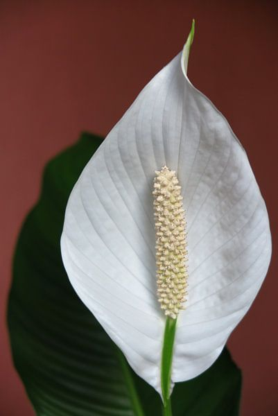 Bloem van de lepelplant van Robin Witteman