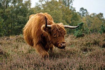 Schottischer Highlander von bryan van willigen