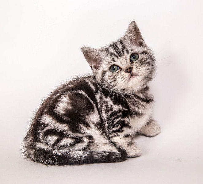 Britse korthaar kitten van Jeroen van Alten