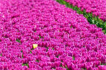 Gelbe Tulpe zwischen rosa Tulpen von Wijnand Medendorp