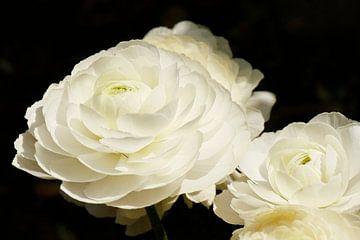 Weiße Rosen von Simone Meijer