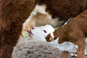 Hereford kalf drinkt melk aan uier moeder koe