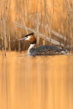 Haubentaucher ( Podiceps cristatus ) schwimmt im goldenen Abendlicht vor Schilf, Spiegelung im ruhig von wunderbare Erde