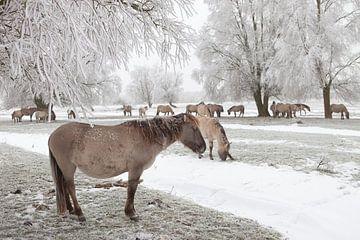 Een kudde konikpaarden in een winter landschap van Bas Meelker