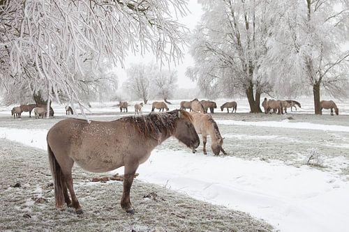 Een kudde konikpaarden in een winter landschap