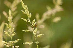 Libelle auf einem Schilfrohr von Miranda Geerts