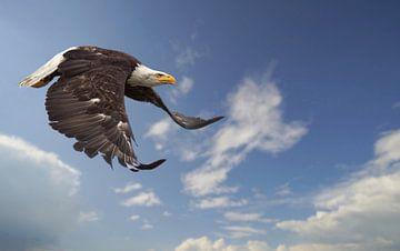 Zeearend in zijn vlucht van