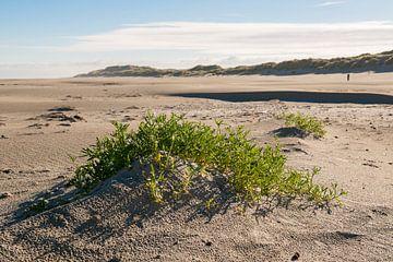 Plantje Zeeraket op Noordzeestrand van Terschelling von Tonko Oosterink