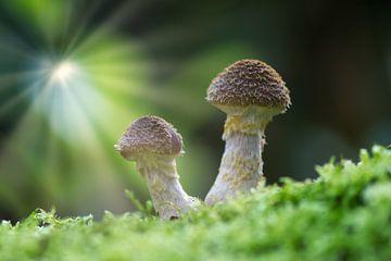 Twee paddenstoelen in zonnestralen
