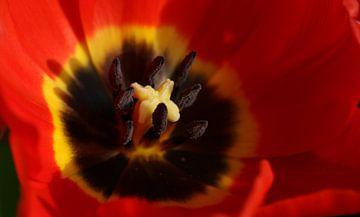 Nahaufnahme einer Tulpe von Pim van der Horst