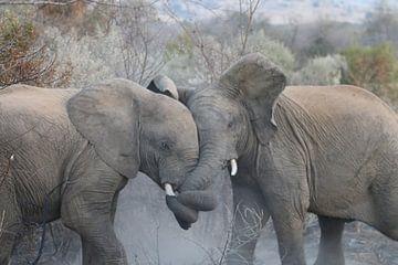 Kämpfende Elefanten in Nationalpark Südafrika Pilanesberg von