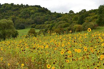 Schalkenmehren, Duitsland, Eifel:  zonnebloemen van Bernard van Zwol