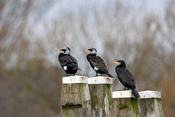 cormorans sur Aalt van Tongeren