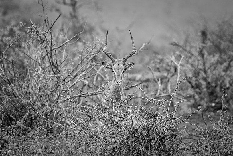 Antilope van Visueelconcept