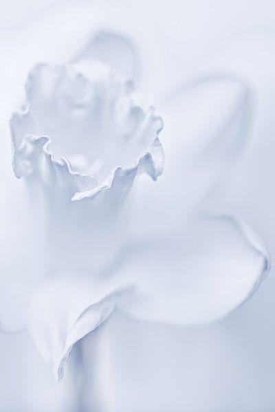 She shines so bright.... (modest version) (Narcis, bloem) van Bob Daalder