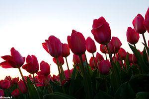 Tulpen in de Bollenstreek van tiny brok