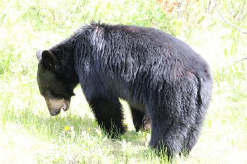 Grazende zwarte beer in Banff National Park, Canada van