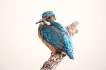 IJsvogel op tak van