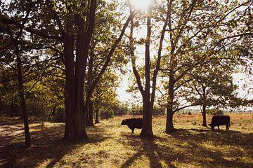 runderen in natuurpark De Plateau - Hageven van Ronenvief